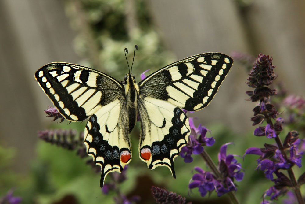 Vlinder op een tak met paarse bloemen.